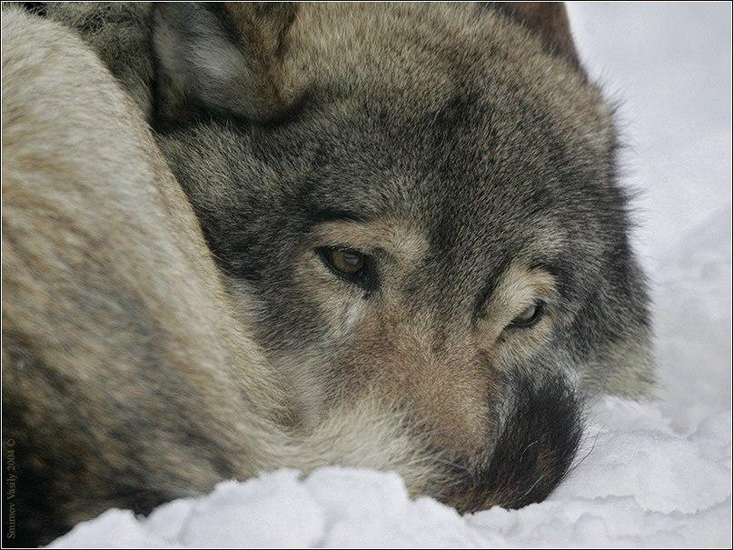 Блатной удар одинокий волк youtube.