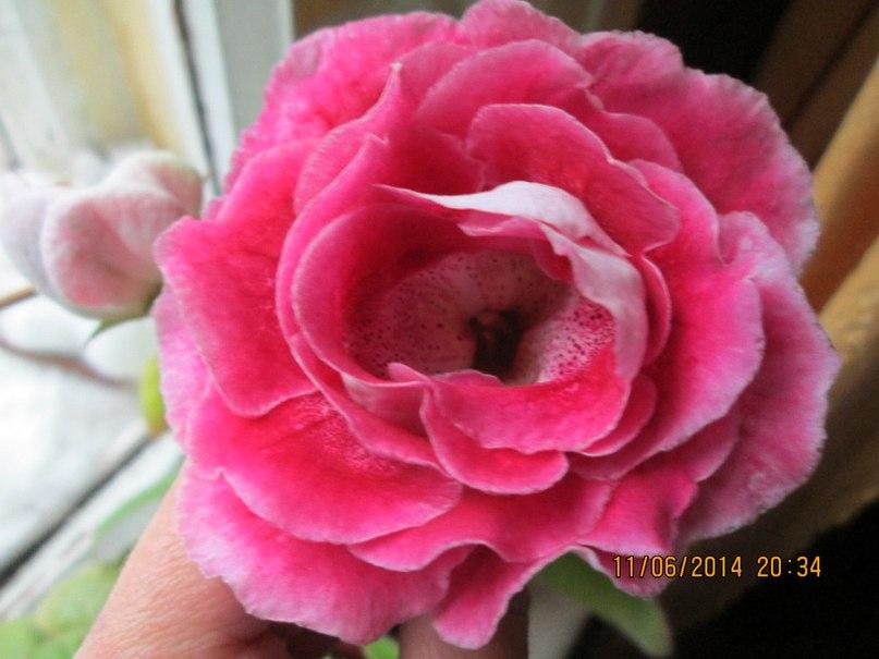 Роза каира картинки, красивые для